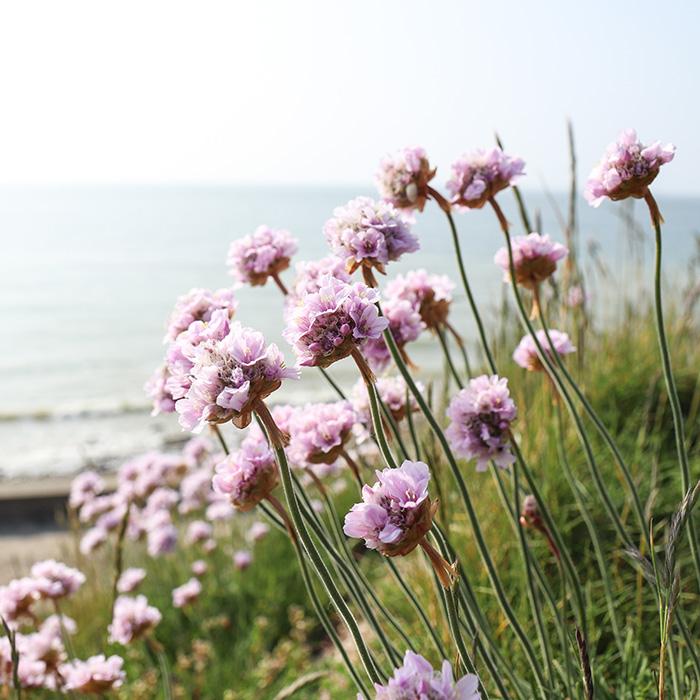 ©Aurélie Marcellak | Fleurs en bord de mer (Armeria maritima)